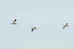 SNOW GEESE over EWING BOTTOMS (nsxbirder) Tags: ewing jacksoncounty flight snowgoose indiana ewingbottoms unitedstates