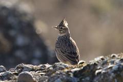 DSC_7992 (Jesus DTT) Tags: pájaro ave cogujadacomún galeridacristata crestedlark