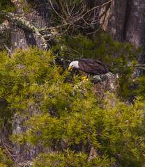 Perched In The Pines (John Kocijanski) Tags: baldeagle eagle bird birdofprey pines animal wildlife nature canon400mmf56 canon7d