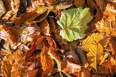 Leaves on the Ground (Bephep2010) Tags: 2018 7markiii alpha blätter boden herbst ilce7m3 sel1635z schweiz sony switzerland autumn braun brown fall green ground grün leaves nature ⍺7iii au kantonzürich ch