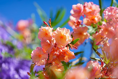 Beautiful blossoms (edzwa) Tags: canon70200f28lisii sony sonya7riii metabonesv closeup flower flowers blossoms bokeh bokehlicious