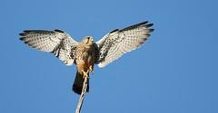 Peneireiro-vulgar - (Falco tinnunculus) - Common kestrel (carloscmdm) Tags: parque urbano jamor natureza selvagem rapina peneireirovulgar falco tinnunculus common kestrel specanimal