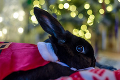 Supernova (daveseargeant) Tags: rabbit bunny black santa xmas christmas nikon df medway rochester 50mm 18g portrait animal lop