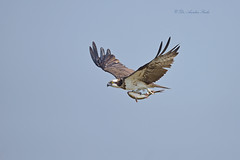 The Reward.... (Anirban Sinha 80) Tags: nikon d610 fx 500mm f4 ed vrii n g bird osprey wildlife nature natural wetland wings inflight