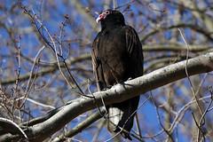 Turkey Vulture at Bombay Hook NWR.....6O3A7548A (dklaughman) Tags: turkeyvulture vulture bird bombayhooknwr bombayhookwildliferefuge delaware