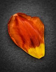 A single Tulip petal (judy dean) Tags: judydean 2019 petal tulip red smileonsaturday hsos onesinglepetal
