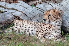 Sonne genießen (S.Angerstein) Tags: gepard tierparkberlinfriedrichsfelde acinonyxjubatus
