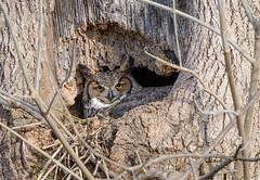 Great Horned Owl (snooker2009) Tags: bird owl great horned nature wildlife nest raptor