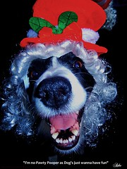 I'm No Pawty Pooper (ASHA THE BORDER COLLiE) Tags: christmas funny picture caption border collie dog ashathestarofcountydown connie kells county down photography