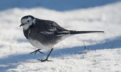 Pied Wag walking foot up
