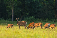 Leader hind & company (adambotond) Tags: hind reddeer deer cervuselaphus mammal ruminant animal wildlife wildlifephotography wild wilderness wildanimal outdoor goldenhour goldenhours adambotond magyarország hungary somogy stvsz sunset field forest nature naturephotography canon canoneos1dx canonef400f4doisiiusm canonefextender2xiii