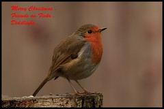 Redbreast . (Diddley Bo) Tags: