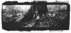 Les Racines... (✽ Dominique CARON ✽) Tags: blackwhite bois forêt film trix400 monochrome mediumformat moyenformat arbre nature ilfotechc kodak pinhole pinholecamera realitysosubtle6x17 noiretblanc awagami 6x17 sténopé racines papierwashi vandyke vandykeprint