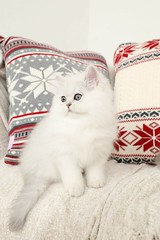 Cute Kitten Pictures (dollfacepersiankittens.com) Tags: doll face persian kittens for sale