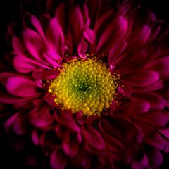 Fun with strobes, Explore (Alvin Sangma Photography) Tags: florist macro carnations pink flora nature flowers daisies petals nikond600 explore