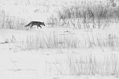 Fuchs im Schnee (IIIfbIII) Tags: fox winter snow schnee fähe fuchs mammals mv mecklenburgvorpommern bw blackandwhite wildlifephotography wildlife white wild wildlifephoto weis nature naturephotography naturfotografie natur animal animalphotography tierfotografie tiere