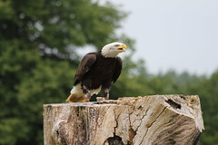 IMG_1439 (Stefan Kusinski) Tags: hemsley duncombe ncbp birdofprey