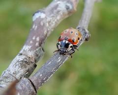 Anatis ocellata (rockwolf) Tags: eyedladybird anatisocellata coccinelleàocelles coleoptera coccinellidae coccinelle ladybird beetle insect woodlane shropshire rockwolf
