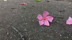 20181130_084959 (Feralysa) Tags: flor flower rosa hibisco natureza