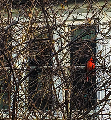 A Lone Cardinal Series (vickieklinkhammer) Tags: bird branch nest tree wildlife outdoor winter cardinal noperson red light beak sitting one colorful outdoors birdnest twig orange wood yellow cold daylight environment birdfeeder nature standing season fowl flock stonewall perch flying granite concrete redbird house home windows porch afternoon ouside feathers seasons autumn fall white brown siding loner