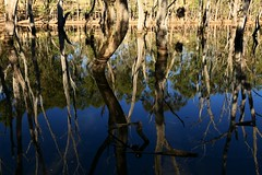 The Drowned Forest, Quarry Lake via Adelaide, South Australia (Red Nomad OZ) Tags: adelaide southaustralia outdoor nature water tree reflection lake waterscape forest wood bushland