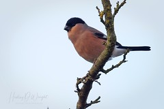 Bullfinch male (hedley_wright) Tags: farm wildlife bird westhorpe suffolk england uk nature