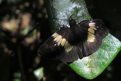 Potamanaxas paralus (Over 5 million views!) Tags: butterfly hesperiidae peru potamanaxasparalus butterflies insect