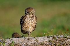 Stink Eye (craig goettsch - out shooting) Tags: sanibel2018 burrowingowls capecoral owl bird avian morning animals wildlife nature nikon d500