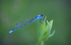 Blue Damselfly (nadeen_aljamal88) Tags: mist wet insect insects dragonfly fly damselfly blue bug bugs beautiful macro macroshot nature natural wild wildlife