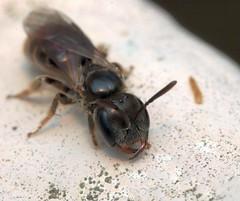 Lasioglossum politum f - 13 XI 2018 (el.gritche) Tags: hymenoptera france 40 garden halictidae lasioglossumpolitum female
