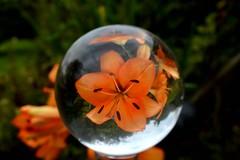 Crystal Ball Refraction (Seventh Heaven Photography **) Tags: orange lily crystal ball refraction nikon d3200 flora flowers