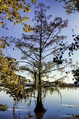 2018 Barnfull 6D (5)-Edit (Scott Sanford Photography) Tags: 6d canon cypress ef50mmf14 eos lake naturalbeauty naturallight nature outdoor reflection texas topazlabs water swamp trees martindiesjrstatepark