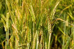 AC Metcalfe (Bracus Triticum) Tags: mystery barley variety lacombe ラクーム アルバータ州 alberta canada カナダ 7月 七月 文月 shichigatsu fumizuki bookmonth 2018 平成30年 summer july ac metcalfe