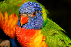 Lorikeet / Loriquet (tivitto) Tags: loriquet 7d oiseaux couleur color guadeloupe tete lorikeet