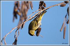 Tarin des aulnes 181206-01-P (paul.vetter) Tags: oiseau ornithologie ornithology faune animal bird tarindesaulnes spinusspinus eurasiansiskin jilguerolúgano lugre erlenzeisig
