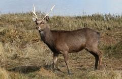 Sika Deer at Arne - Dorset 080318 (11) (Richard Collier - Wildlife and Travel Photography) Tags: wildlife mammals sikadeer rspbarne dorsetwildlife naturalhistory nature