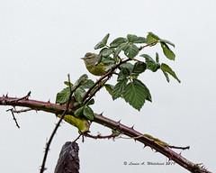 010519 East Bay Bird 3 (wildcatlou) Tags: winter olympia bird songbird nature wildlife january warbler orangecrownedwarbler
