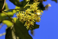 Acer In Bloom (gripspix) Tags: 20180429 spring frühling archiv plant pflanze bloom blüte acer ahorn