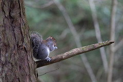 Snack time (adrian.sadlier) Tags: squirrel greysquirrel animal nature wild tree branch acorn eating cute