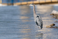 Great Blue Heron (sniggie) Tags: ardeaherodias ardeidaefamily greatblueheron kentucky kentuckylake landbetweenthelakesnationalrecreationarea us62 bird tennesseeriver kos