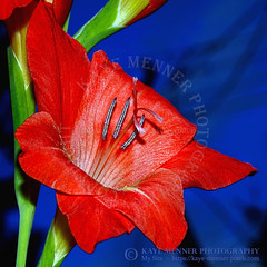 Red Gladioli on Blue by Kaye Menner (Kaye Menner) Tags: redgladiolionblue vibrantredgladioli gladioli redgladioli flower redflower gladioliflower iridaceae familyiridaceae gladiolus genusgladiolus floral redfloral photography kayemennerphotography kayemenner redflowers flora redflora petals redpetals gladiolipetals stamens pistil patterns closeup macro botanical nature garden bluebackground contrast kayemennerfloral red green blue redblue bluered redbluegreen gladioliart floralart
