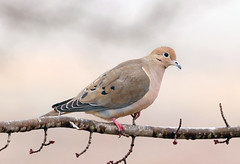 Mourning-Dove (mjohnsonpics) Tags: 150600mm f563 dg os hsm | contemporary 015 nature dove beautiful sigma canon ngc