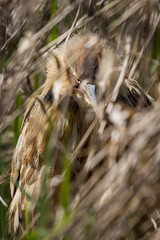 "American Bittern (Catherine ""Cat"" Rose) Tags: 2018 americanbittern april steigerwaldwildliferefuge"