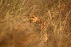 Cheetah (light_into_the_dark) Tags: pendjari national park benin west africa wildlife safari gepard cheetah