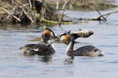 grèbe huppé_18C1735 (Bernard Fabbro) Tags: grèbe huppé great crested grebe bird oiseau eau couple nid water plume nourriture bébé baby