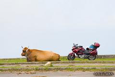 Deauville & cow (DOCESMAN) Tags: moto bike motor motorcycle motorrad motorcykel moottoripyörä motorkerékpár motocykel mototsikl honda nt700v ntv700 deauville docesman danidoces vaca cow ganado