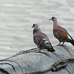 Speckled pigeon - Columba guinea thumbnail