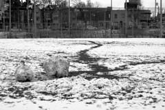 002 -1vibbwfwlcon1stpffwl (citatus) Tags: large snowballs snow baseball field softball davisville june rowlands park millwood road toronto canada fall afternoon 2018 pentax k3 ii bw