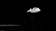 La Paloma y la fuente. (jesusgag) Tags: palomas dastäubchen حمامة 家鴿 비둘기 duer savikiekko περιστέρια piccioni ハト duiven gołębie pombas голубок duva vögel دواجن 家禽 새들 aves siipikarja oiseaux πουλιά birds pollame 鳥 gevogelte fjærkre ptaki