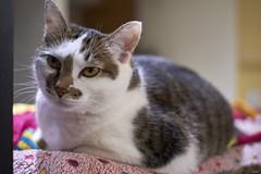 A9__DSC3170_C1 (Bazoka+Cynthia) Tags: cat 塞奈 小婆 新北市 樹林區 貓